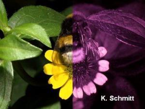 A bumblebee worker. © Dr Klaus Schmitt, Weinheim, www.uvir.eu
