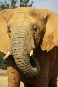 African elephant. Credit: Ian Press Photography