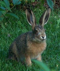 European hare. Credit: Anneli Salo