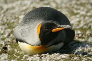 King Penguin. Credit: Chris Pearson