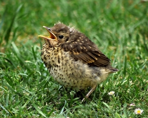 Song Thrush chick. Credit: Sid Mosdell