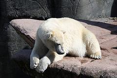 Polar bear. Credit: Lars K. Jensen