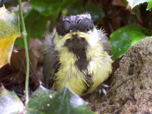 Great tit nestling
