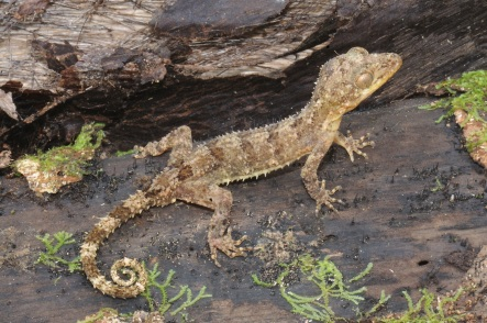 Photo 1 Cyrtodactylus durio by Lee Grismer