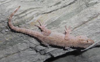 moorish-gecko-b
