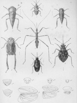 plate-xxxi-proceedings-1878-st-helena-hemiptera