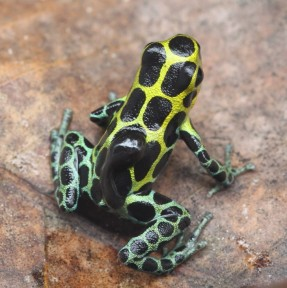Poison frog and tadpole