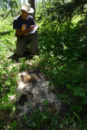 Fig 1 Killed porcupine