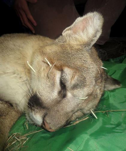 Fig 3 Puma