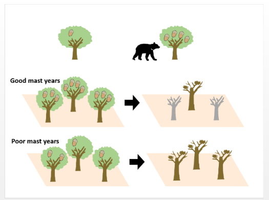Arboreal feeding by Asiatic black bear